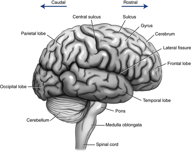 Neurologic assessment thoracic key figure 6 3 left lateral view of the cerebrum showing the four cerebral lobes frontal parietal temporal and occipital and its anatomic relationship with ccuart Choice Image