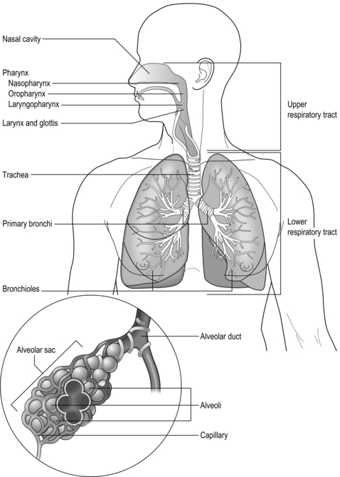 Anatomy and physiology of the respiratory system thoracic key image figure 11 schematic diagram of the respiratory system ccuart Choice Image