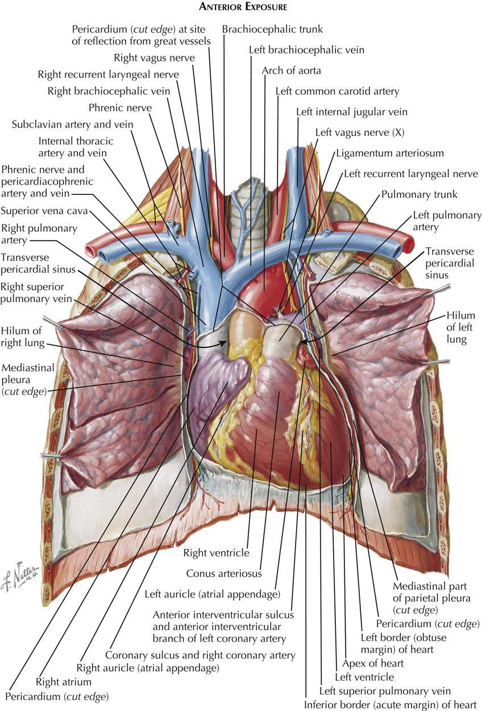 1 Anatomy Thoracic Key