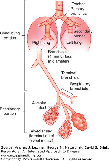 Lung airway anatomy
