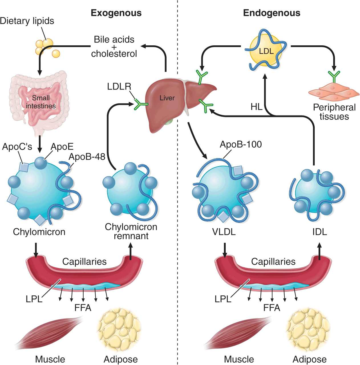 Disorders Of Lipoprotein Metabolism on liver ldl