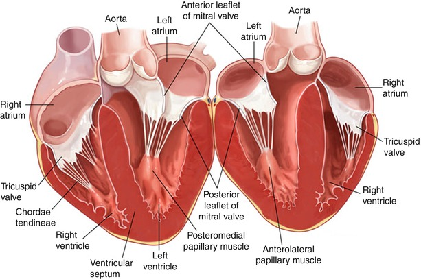 principles of carpentier's reconstructive mitral valve surgery, Human Body