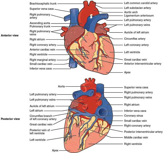 Anatomy and Physiology of the Cardiovascular System | Thoracic Key