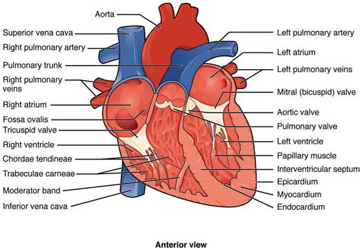 anatomy and physiology of the cardiovascular system | thoracic key, Human Body