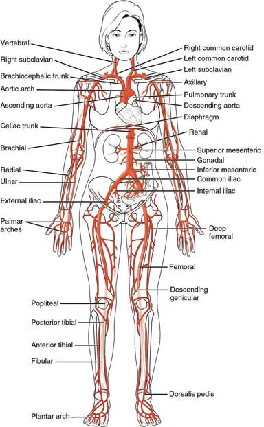 Luxury Peripheral Artery Anatomy Vignette - Anatomy And Physiology ...